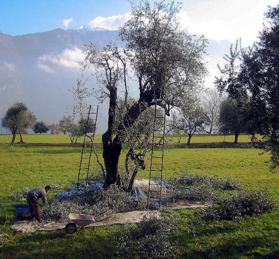 November/ December is olive picking season.