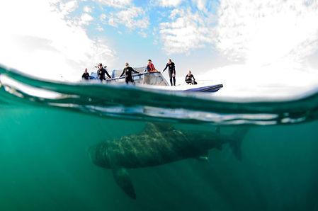 basking-shark-shane-wasik-basking-shark-