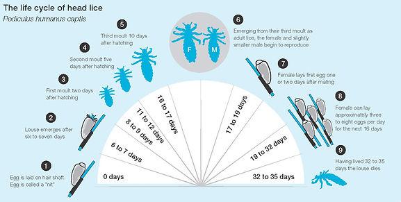 head-lice-life-cycle.jpg