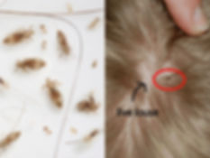 real lice all stages.jpg