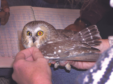 Tiny and Mighty: The Northern Saw-whet owl, our Smallest Avian Predator