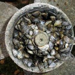 Mussel 5