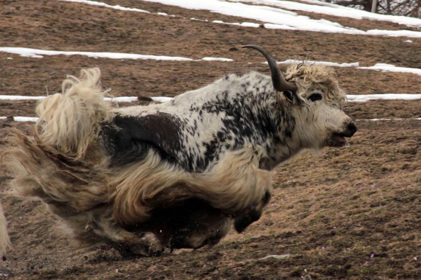 yaks - 44 sur 69.jpg