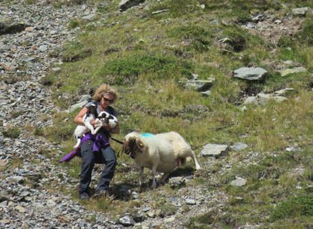 Sauvetage d'agneaux