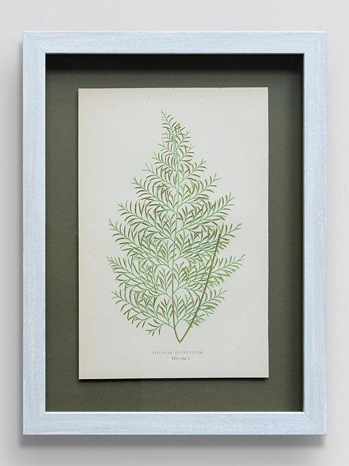 Framed antique 19th century fern print 5