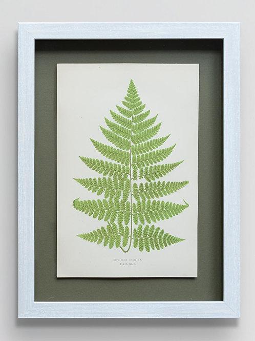Framed antique 19th century fern print 6