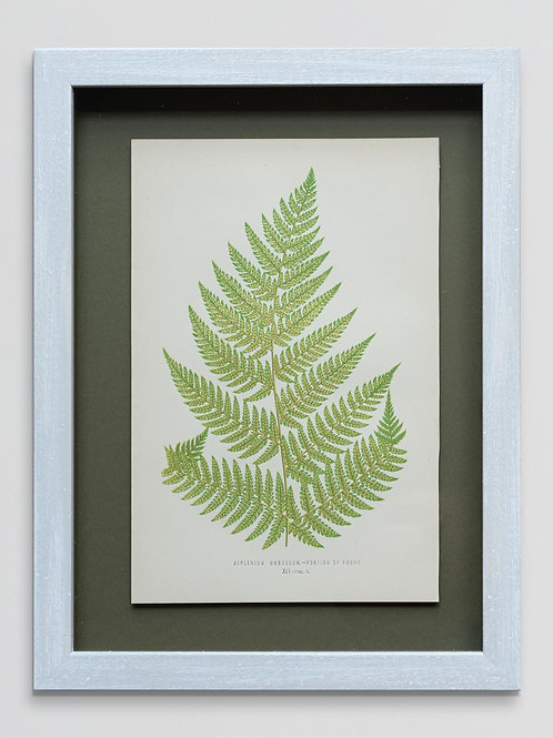 Framed antique 19th century fern print 8