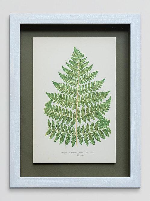 Framed antique 19th century fern print 4