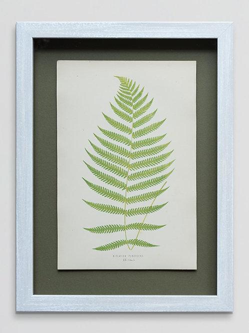 Framed antique 19th century fern print 2