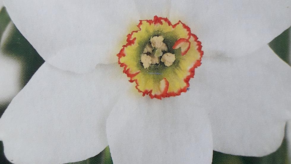 Narcissus 'Pheasant's Eye' X7