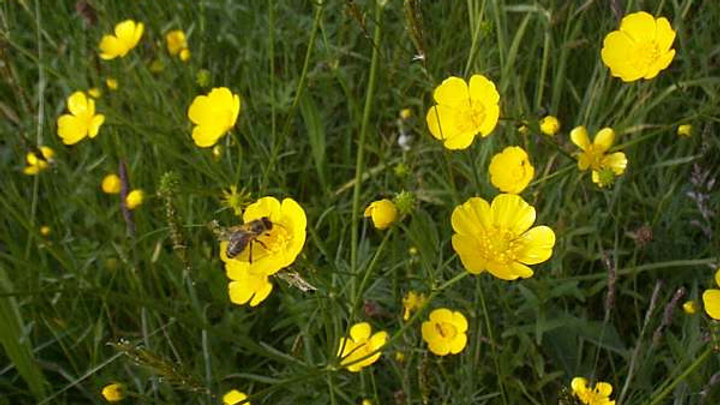Wild Meadow Buttercup