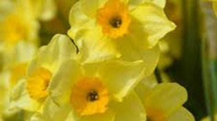 Narcissus 'Golden Dawn'  X10