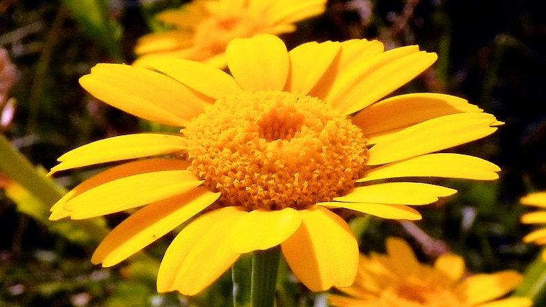 Corn Marigold Seed
