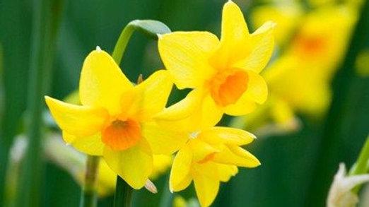 Narcissus 'Martinette' X10