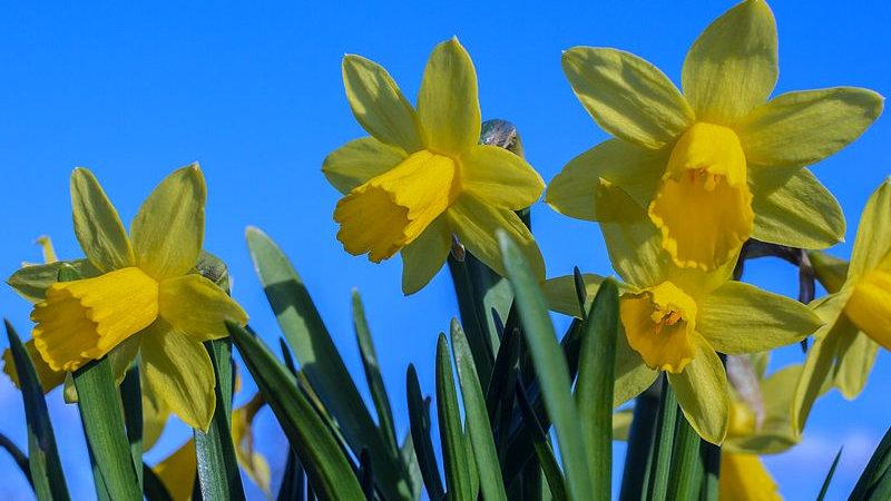 Narcissus 'Tete-a-Tete' X10