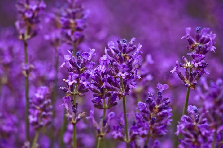 lavender-3462956__480.jpg