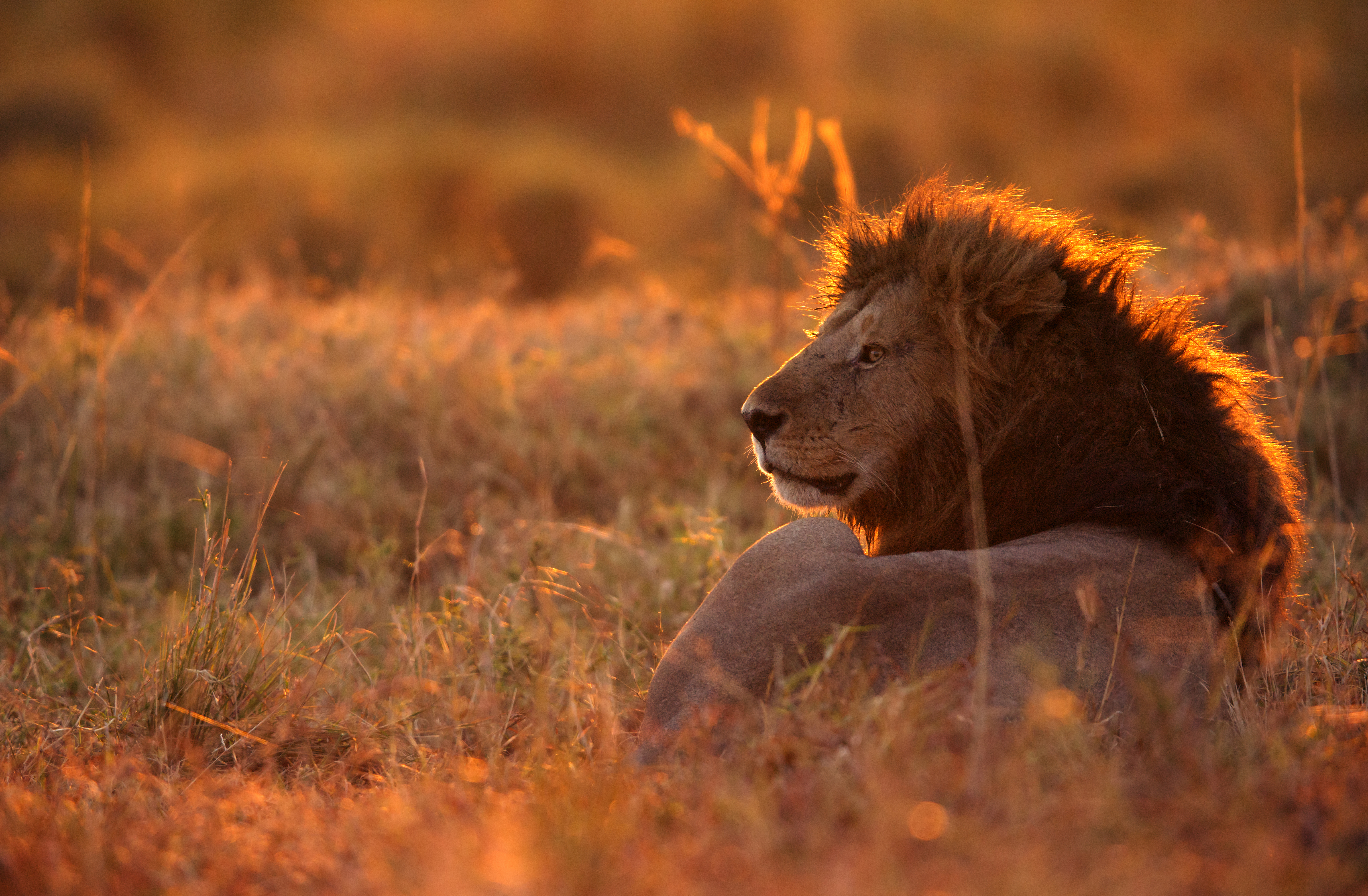 Lion 2 - Masai Mara