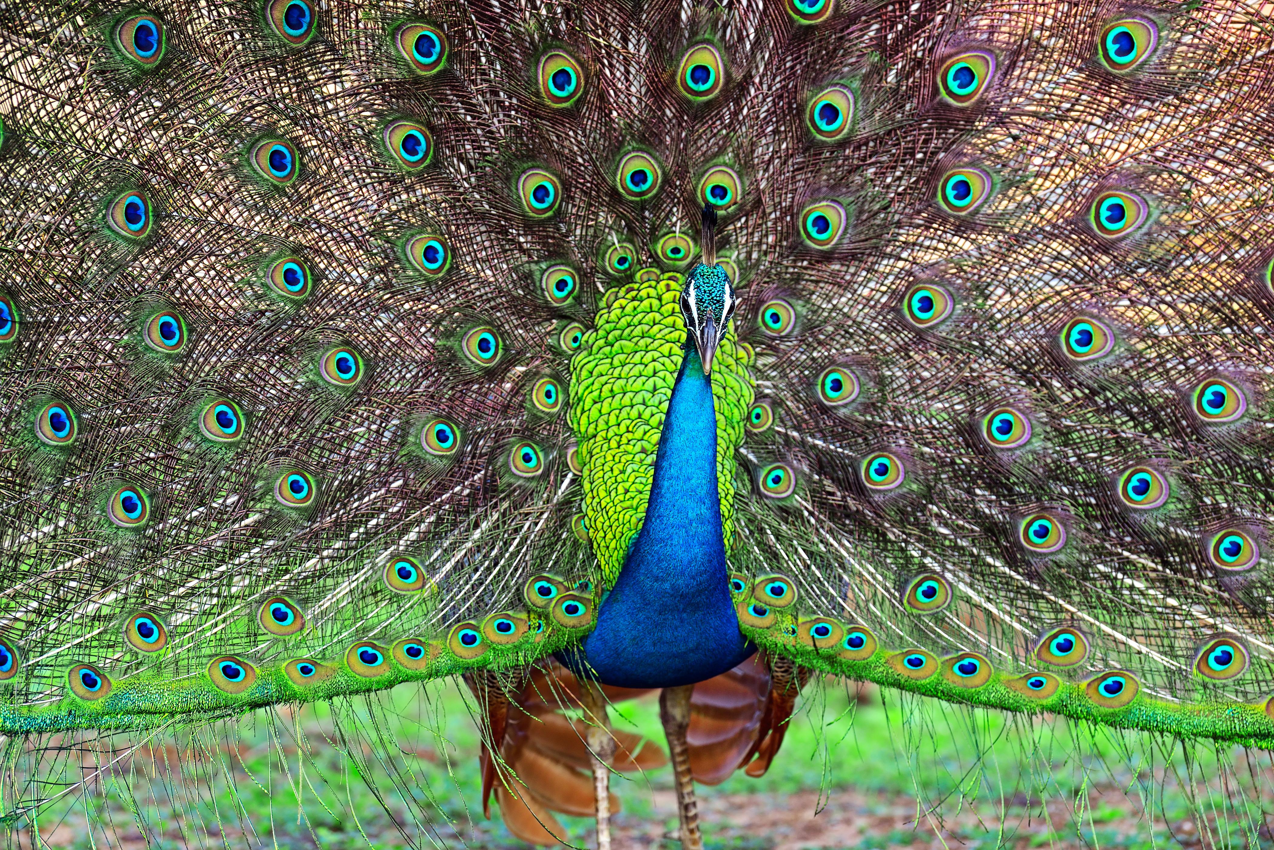 Peafowl Yala National Park
