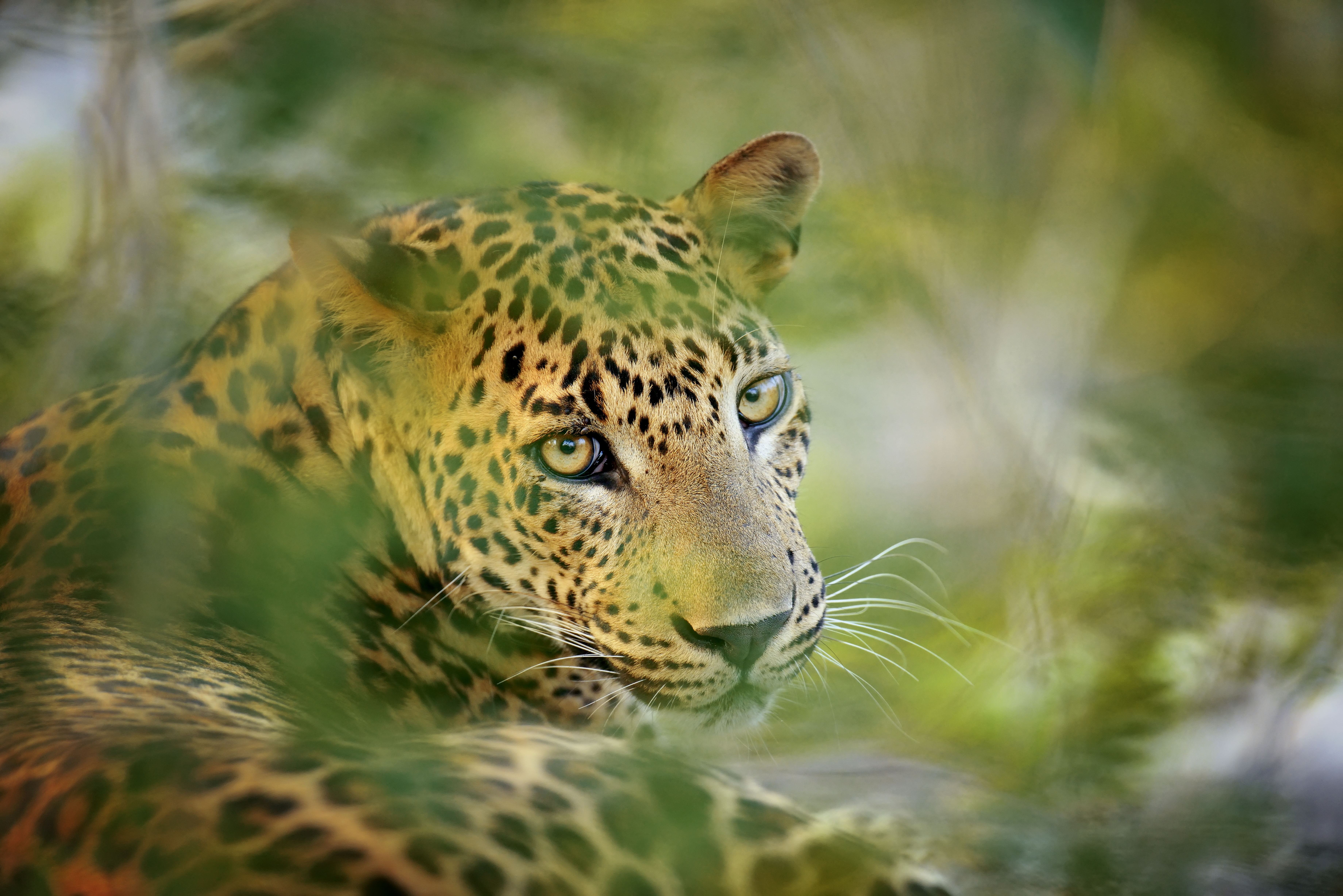 Leopard at Minneriya National Park