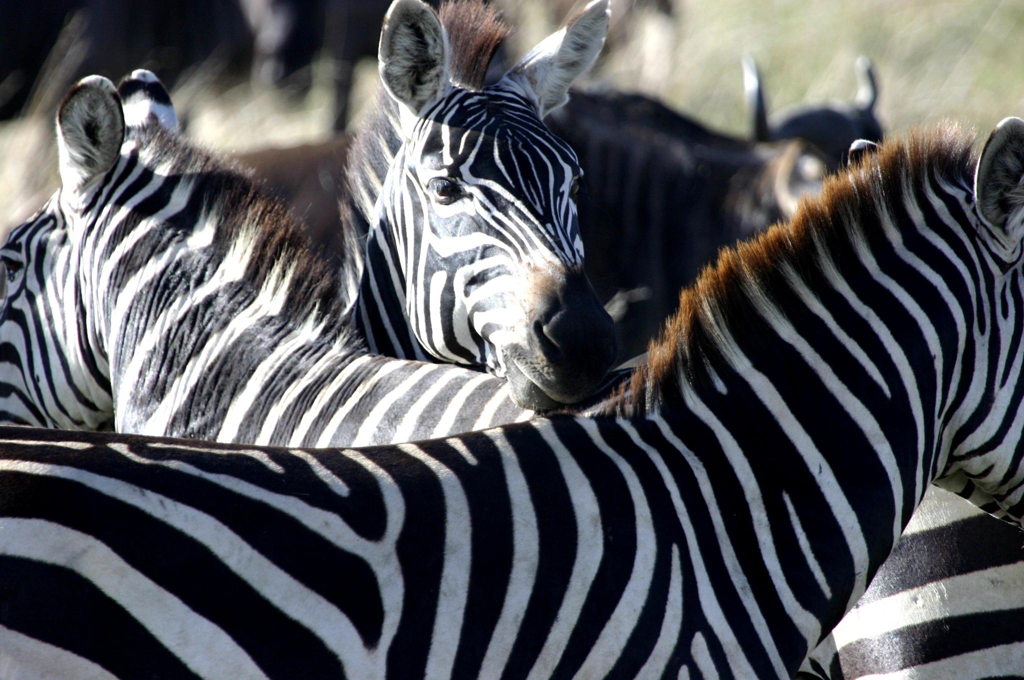 Zebras 3 - Masai Mara