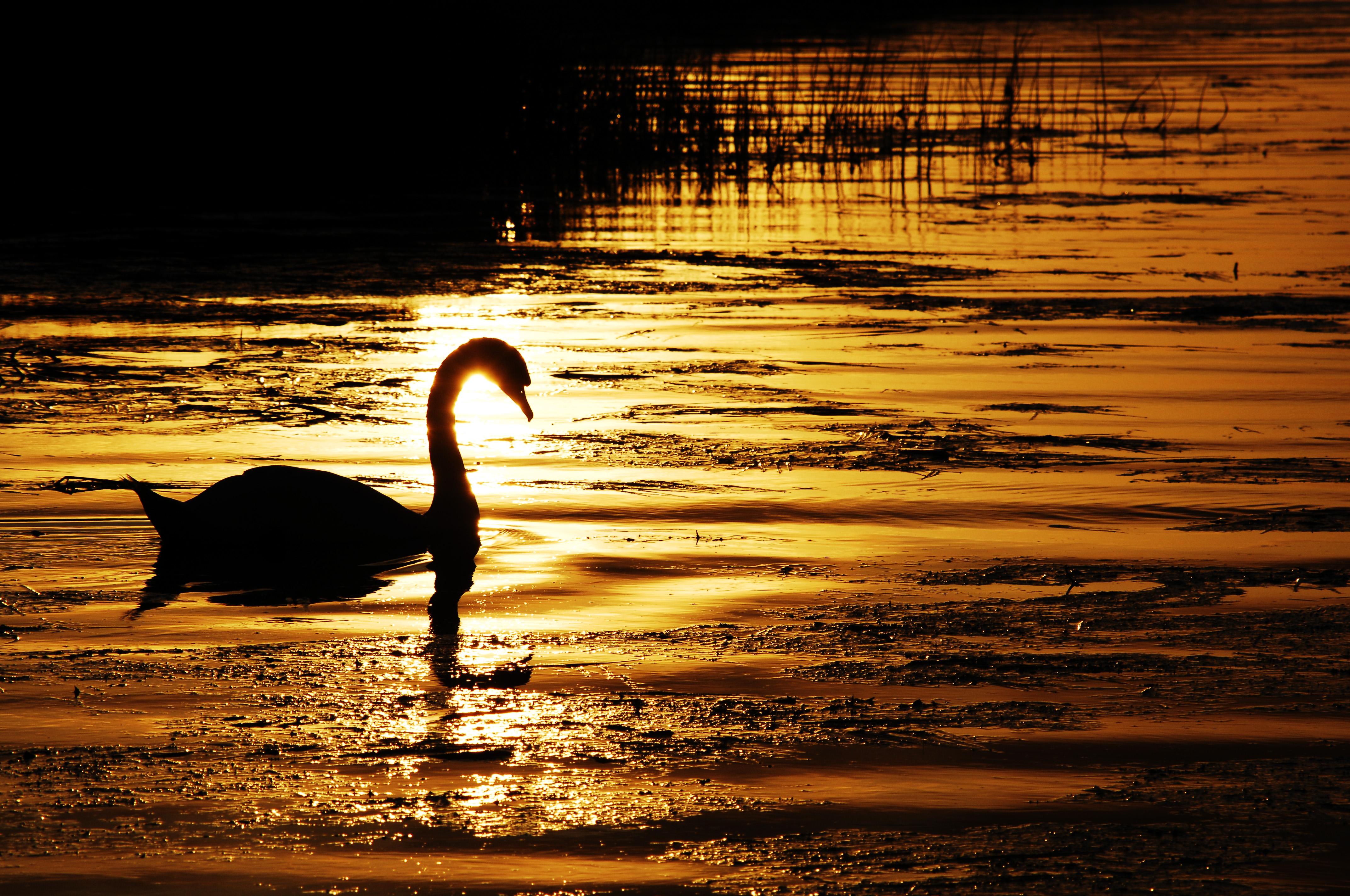 Swan sun 2