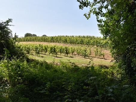 Premières impressions du millésime en 2020 en Anjou-Saumur