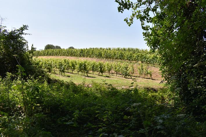 vignes-savennieres