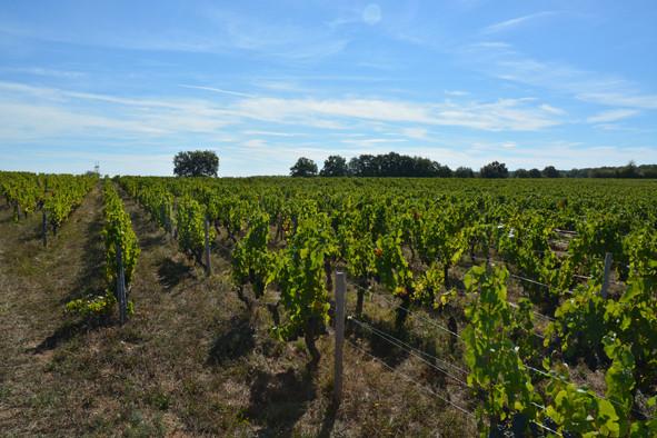Le-vignoble-de-chateaumeillant-en-septembre