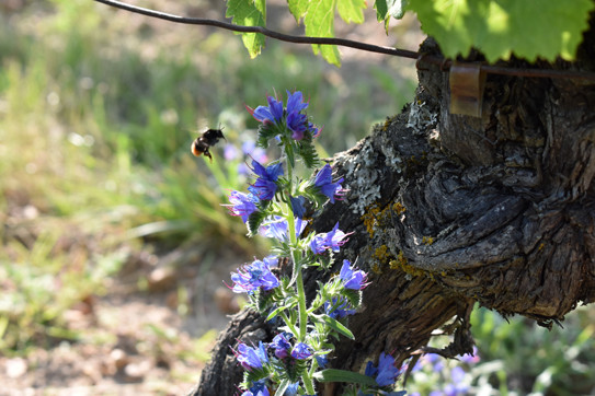 Bees-Bourgueil