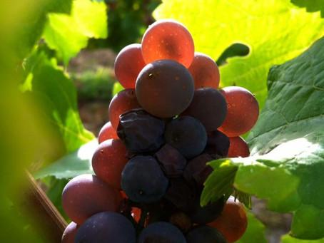 Le record de précocité sera battu dans les vignobles du Centre-Loire en 2020