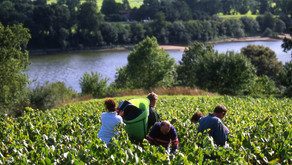 Muscadet winemakers ready for the first stage of 2021 harvest.