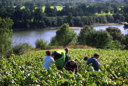 Les vignerons du Muscadet prêts pour un premier départ de vendanges