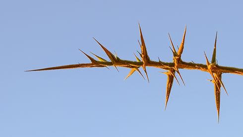 thorns-2487839_1920.jpg