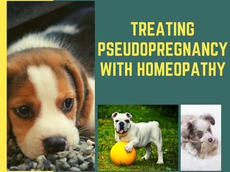 Treating pseudo-pregnancy with homeopathy