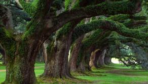 Alberi monumentali, sale a 3.662 alberi il numero complessivo