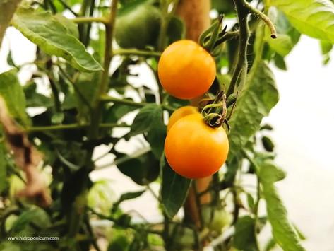Hidroponicum / Cultivados con delicadeza y cuidado especial.