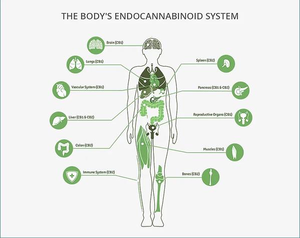 endocannabinoid-system-1.webp