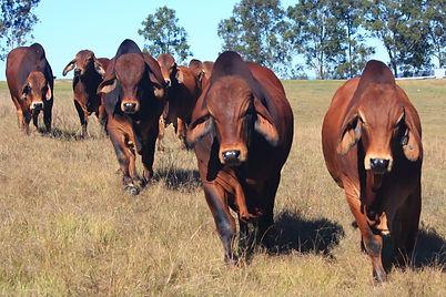 2021 Bizzy Sale Bulls