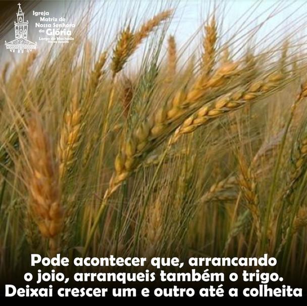 Pode acontecer que, arrancando o joio, arranqueis também o trigo. Deixai crescer um e outro até a co