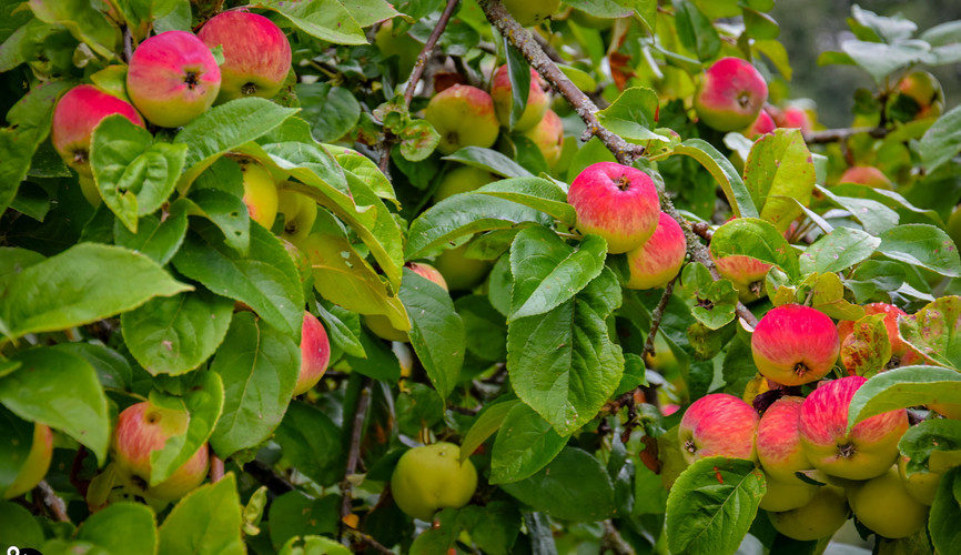 Яблочные сады в Новгородской области