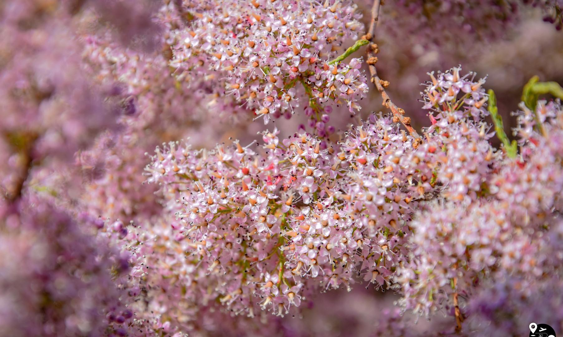 Весна в Калмыкии (цветение тамариска)