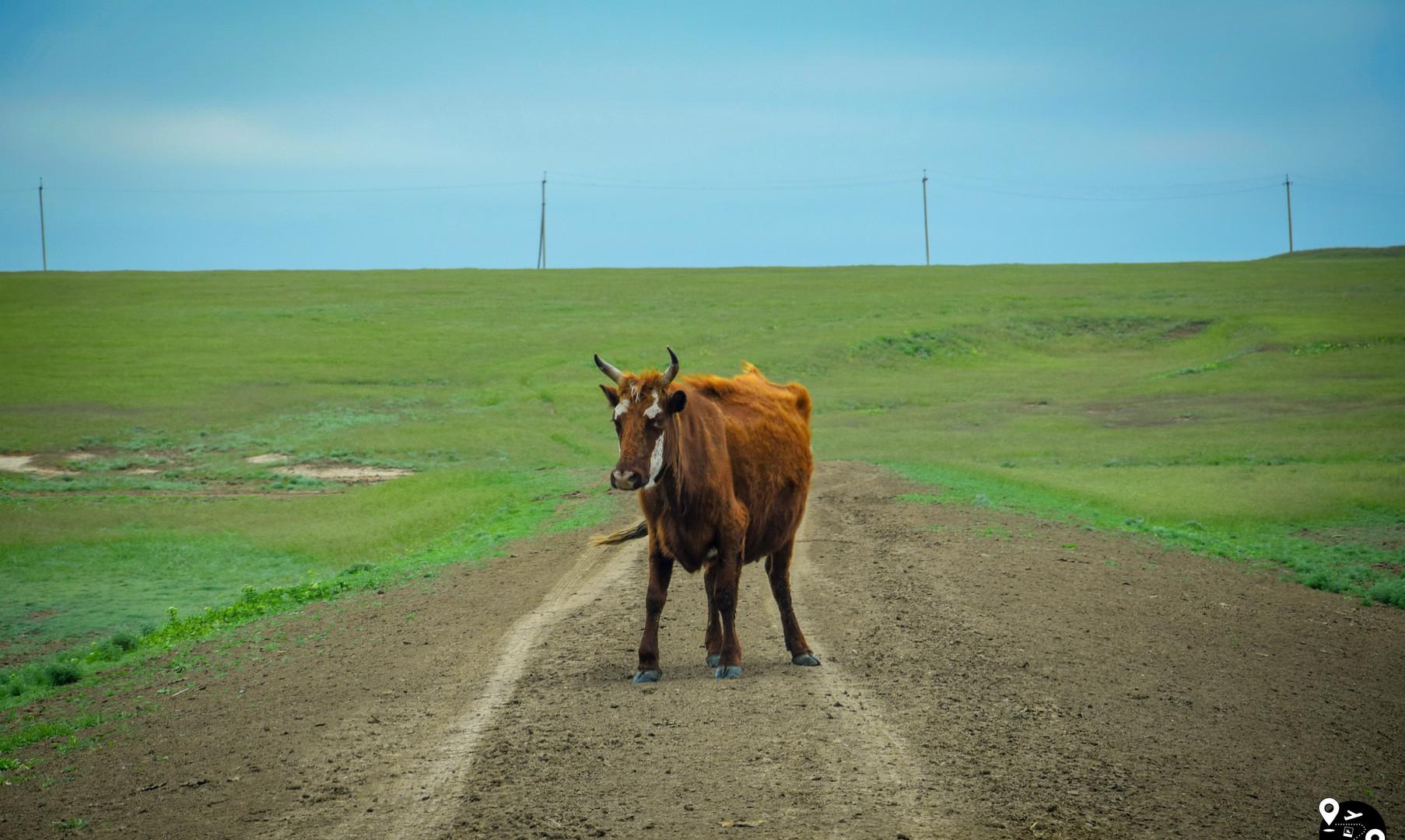 Коровы в степях Калмыкии