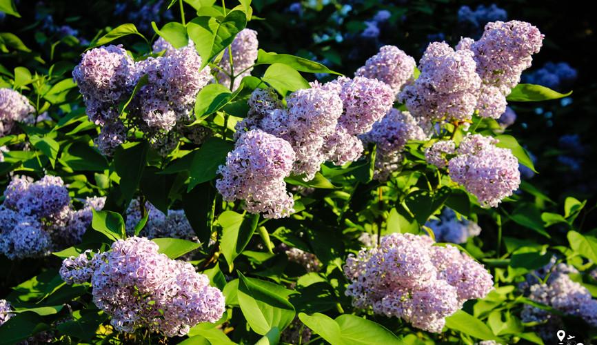 Сиреневый сад в Северном Измайлово