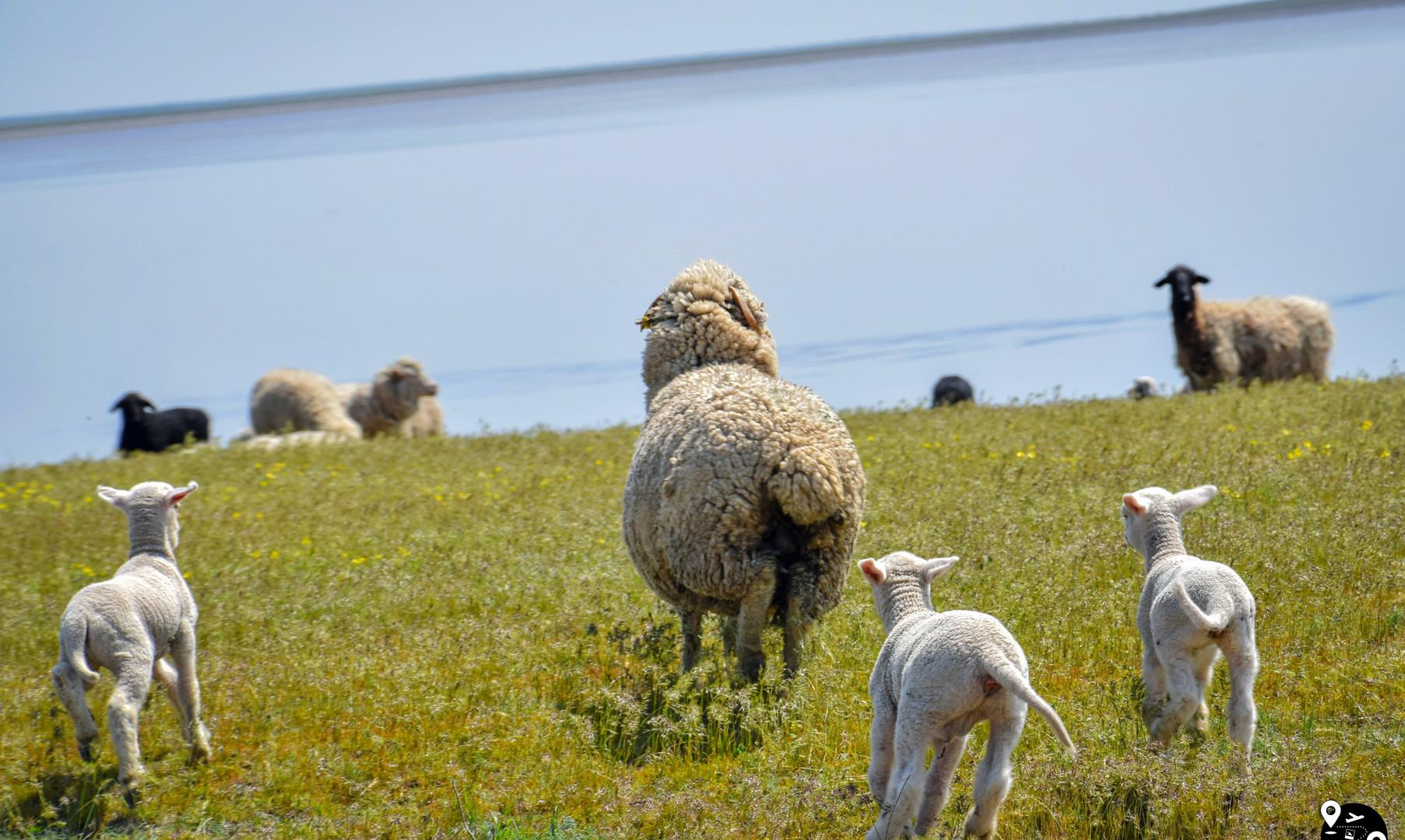Овечки в степях Калмыкии