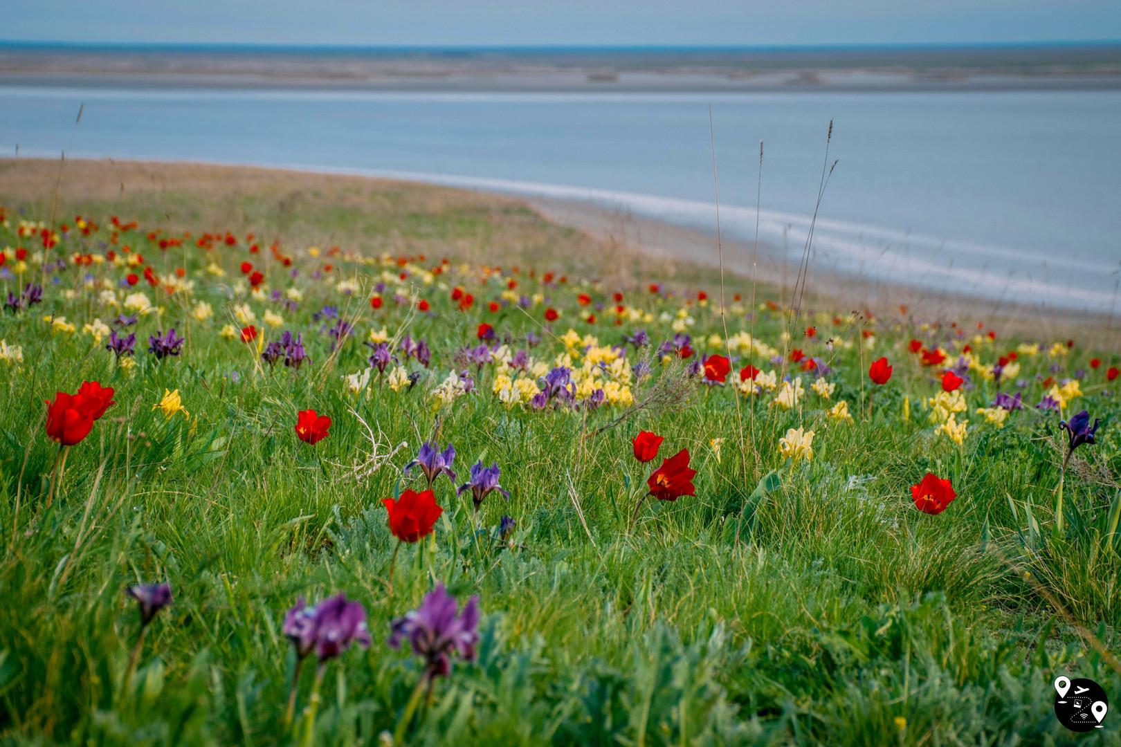 Цветение тюльпанов на озере Маныч-Гудило, Калмыкия