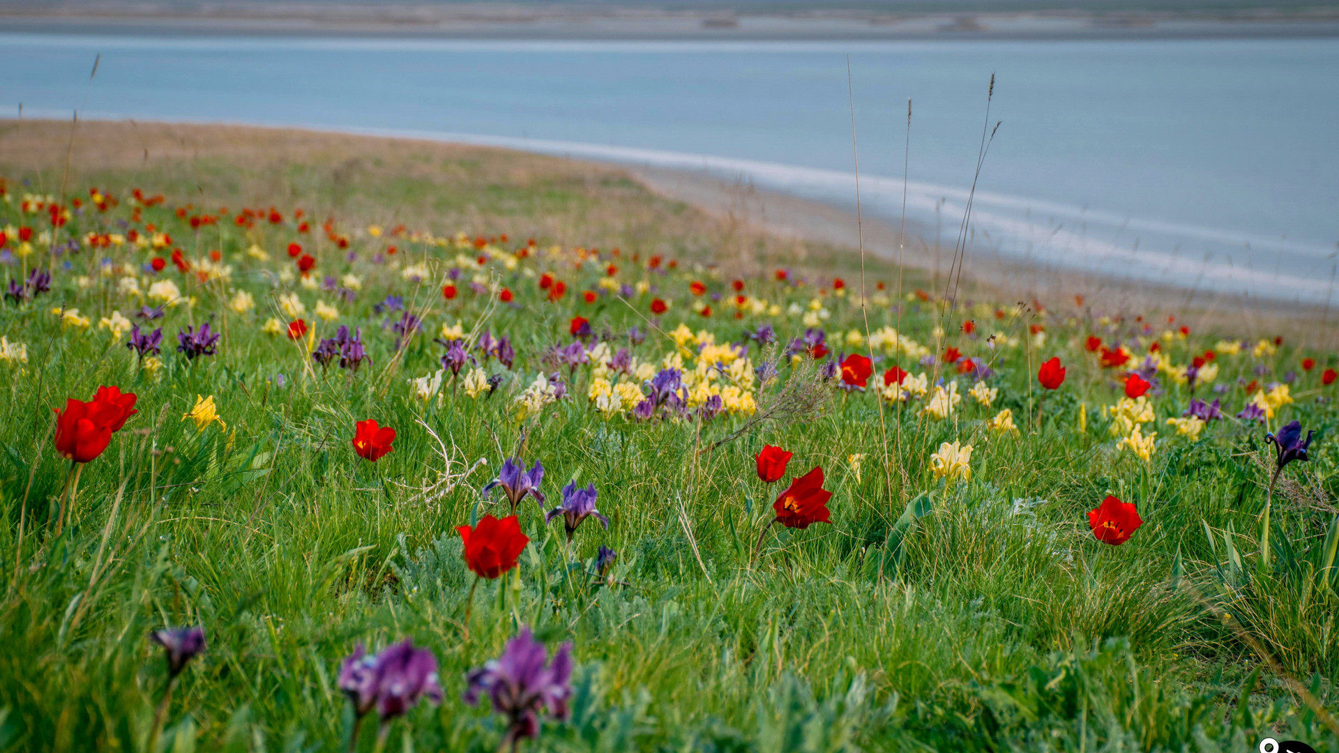 Тюльпаны на озере Маныч-Гудило, Калмыкия