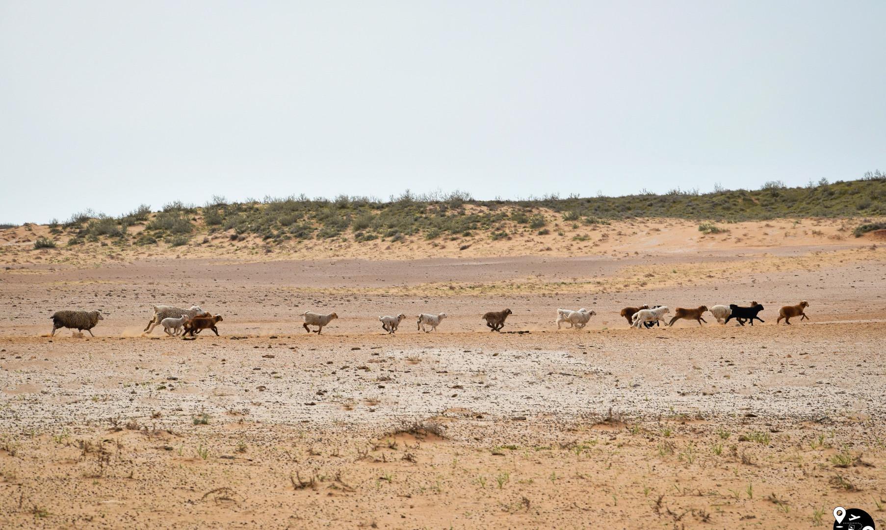 Отара овец в пустыне Калмыкии