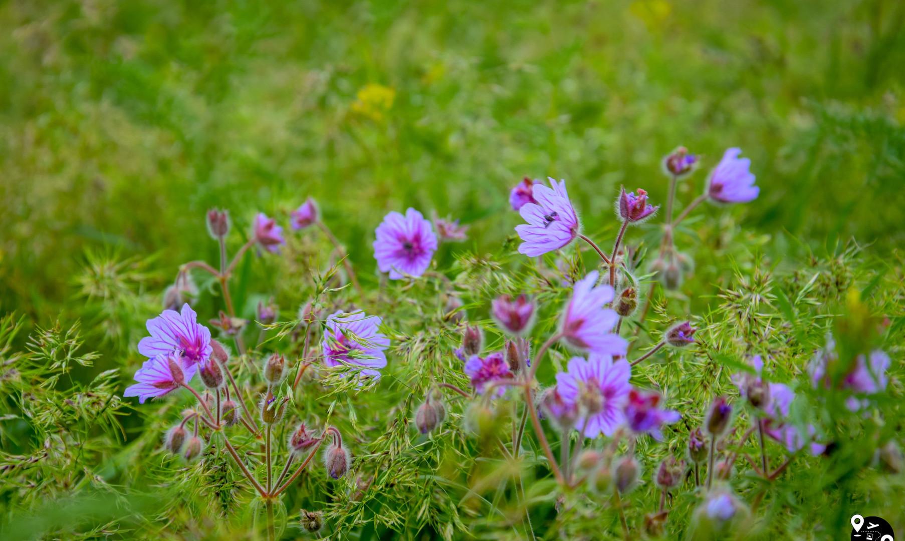 Дикие цветы в степи Калмыкии
