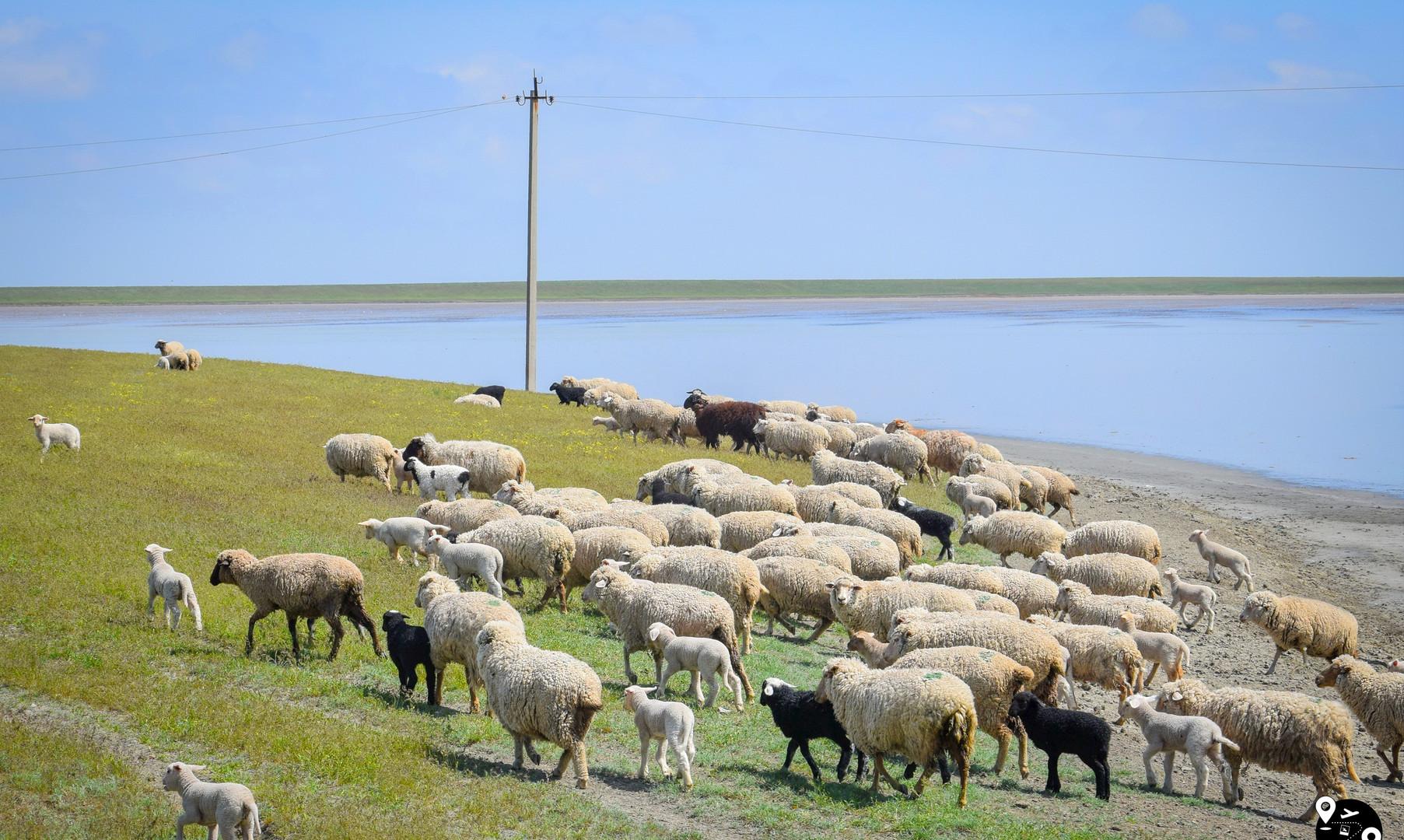 Отары овец в степях Калмыкии
