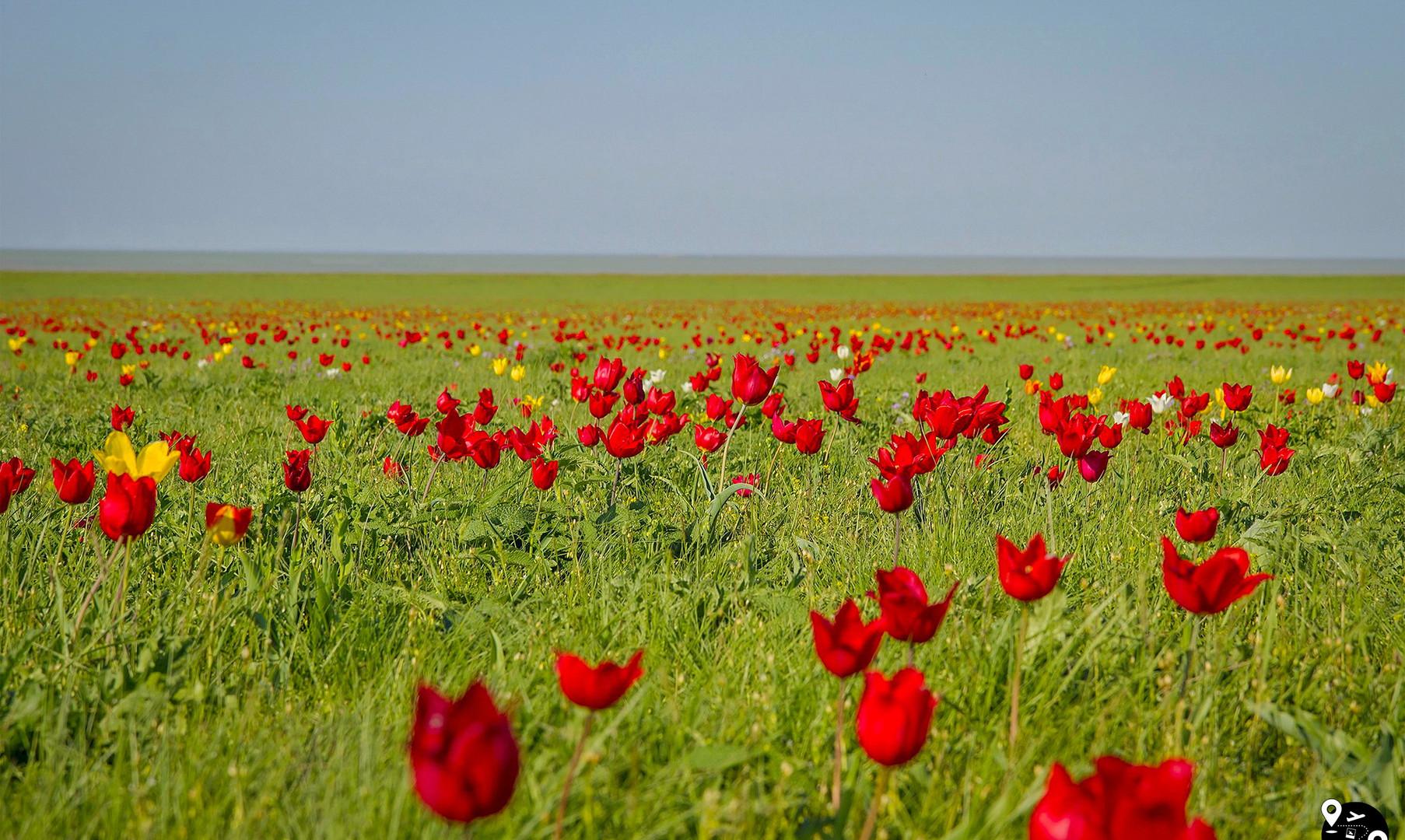 Цветущие дикие тюльпаны на озере Маныч-Гудило